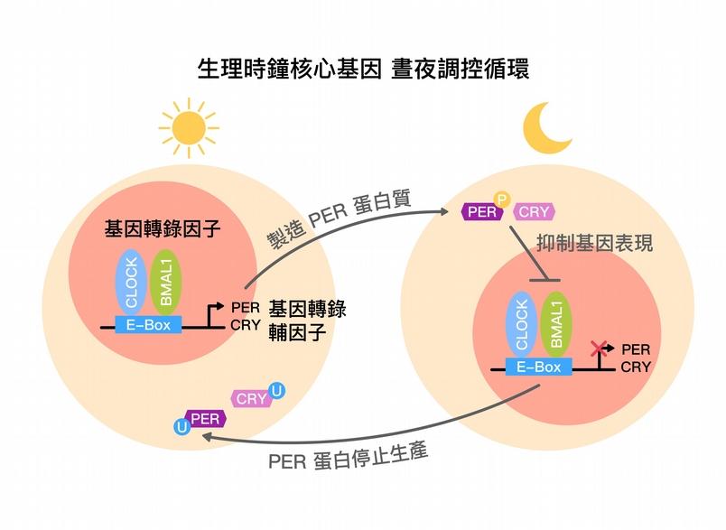 生理時鐘核心基因,晝夜調控循環示意圖 (core circadian feedback loop) 。圖片來源│黃雯華 圖說重製│林承勳、張語辰