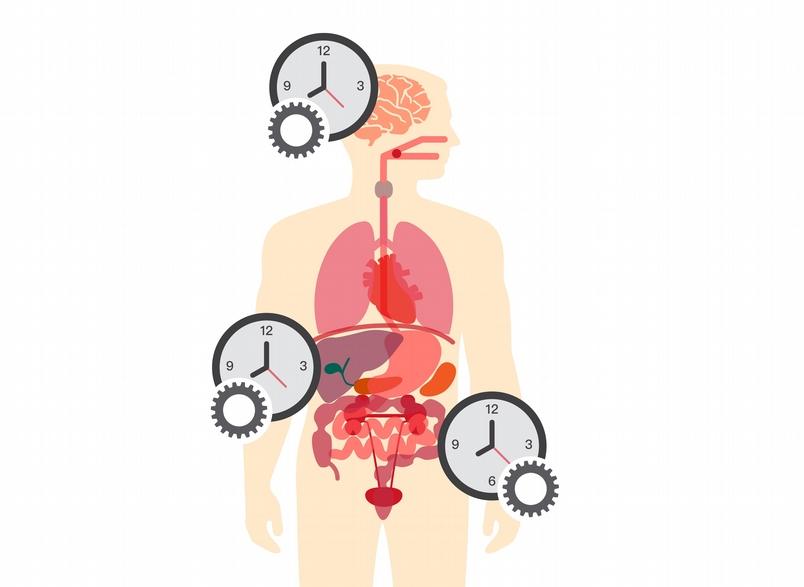 大腦是主要的生理時鐘,但體內各器官也有自己的生理時鐘,彼此會交互影響。圖片來源│iStock 圖說重製│張語辰