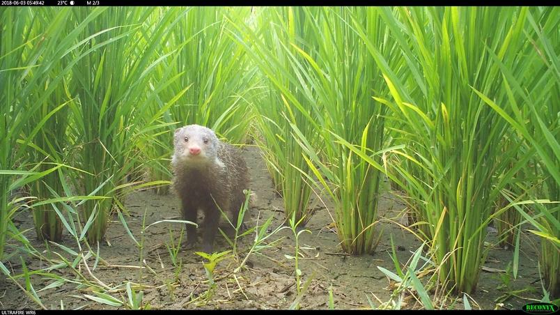 健康的棲地才能承載多樣的物種,即使是以水稻為主的稻田環境,只要採取友善耕種方式,一樣能吸引來眾多生物。食蟹獴會吃福壽螺,甚至在田水放掉、土壤已乾的時候,還會特別去挖土中的螺來吃,幫農民除去心頭大患。畢竟不用農藥的田地,最怕的就是病蟲害了。但凡是採取友善耕種方式、有綠保標章的農家,大多抱持著與天地共享的原則,約有三分之一的收成要和田間所有生物共享。但剩下來的,則可賣出比慣行農法更好的價格。(攝影:余建勳)