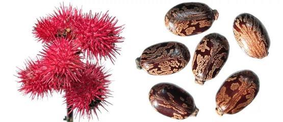 蓖麻和蓖麻籽,遇到了千萬別塞進嘴裡|cdph.ca.gov