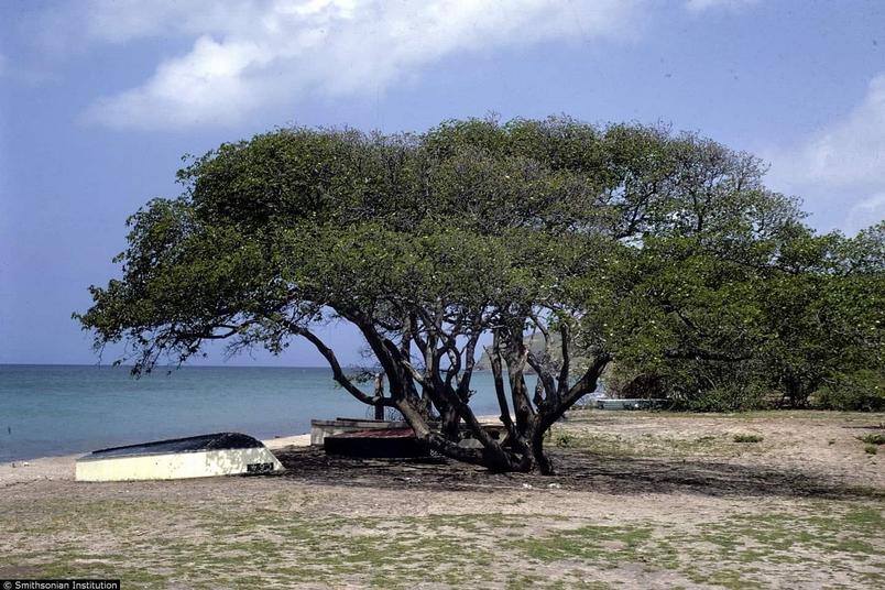 加勒比海邊的一棵「普普通通的」果樹 | amazing.zone.com
