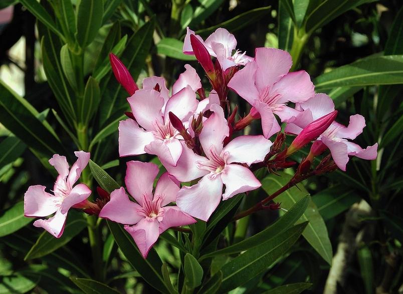 夾竹桃挺拔,花朵美艷,得到了廣泛種植 | Alvesgaspar,  Wikimedia Commons