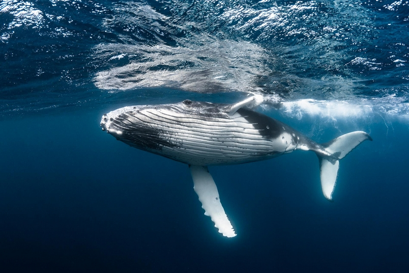 這隻年輕座頭鯨的一生的價值是數百萬美元。因為牠能夠不斷地捕捉碳,並在死後將這些碳深沉海底。PHOTOGRAPH BY GREG LECOEUR, NAT GEO IMAGE COLLECTION