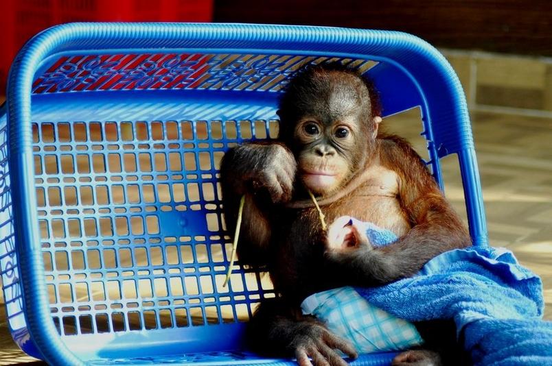 婆羅洲猩猩