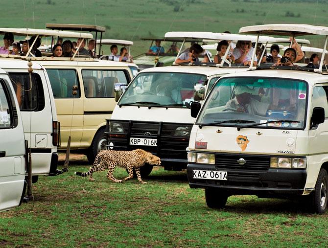 02-cheetah-cub-walks-through-tourist-maze-670