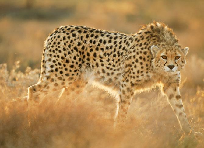 03-koshki-rescued-asiatic-cheetah-670