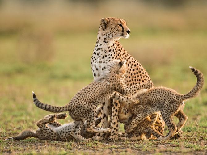04-cheetah-mother-scans-serengeti-for-danger-670