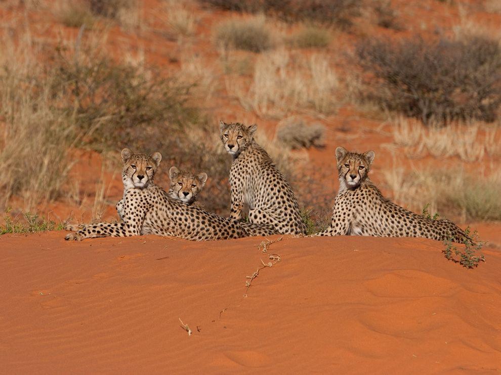 cheetah-kalahari-mills_69212_990x742