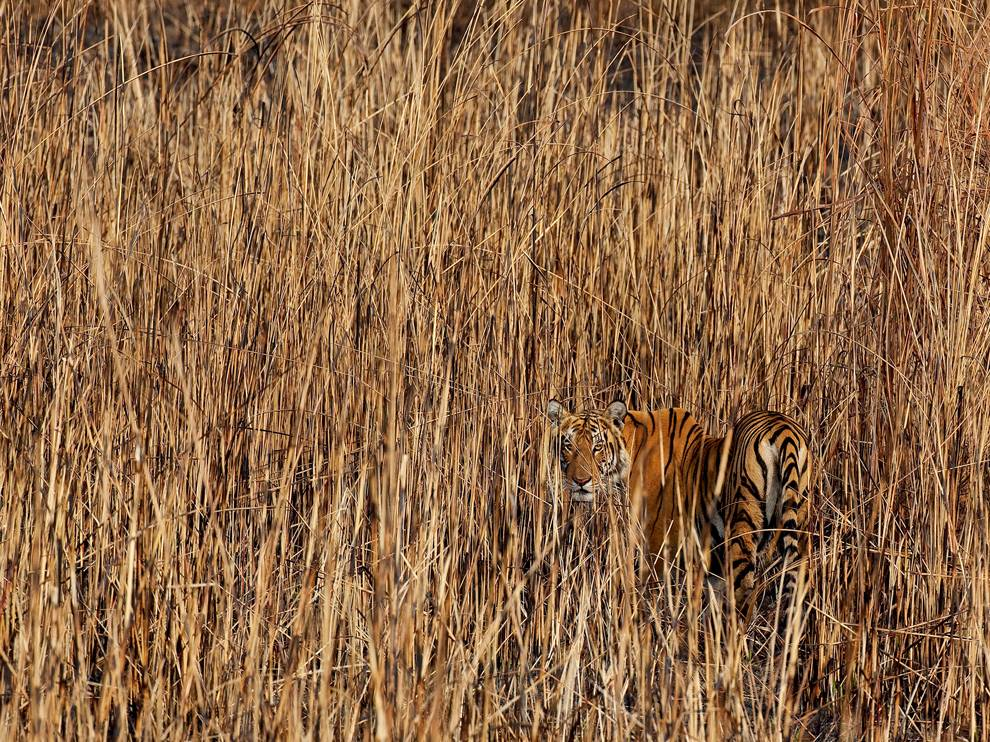 tiger-india-kadur_69227_990x742