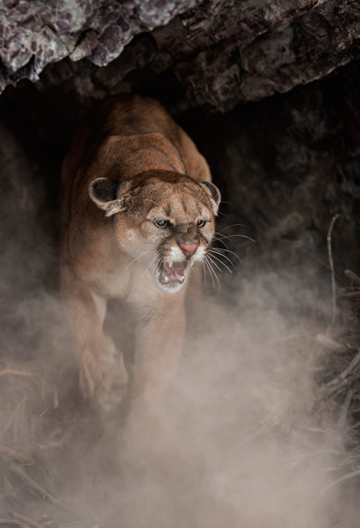 02-cougar-female-aggressive-580v