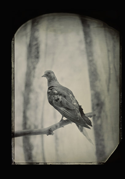 02-passenger-pigeon-670