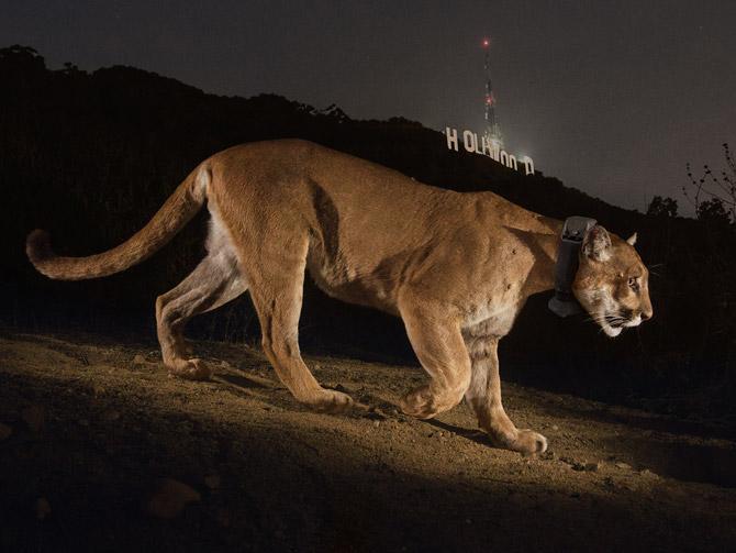 12-hollywood-cougar-670
