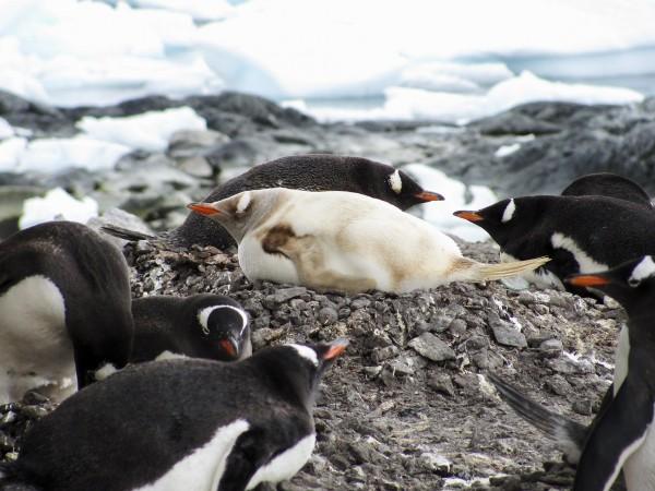 2011年,出現在南極洲的一隻罕見白化企鵝。攝影: Timothy Filer, National Geographic Your Shot