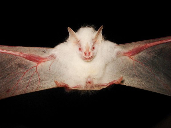 2008年的一隻灰美洲果蝠(Gervais's fruit-eating bat)。攝影: Hernani Oliveira, National Geographic Your Shot