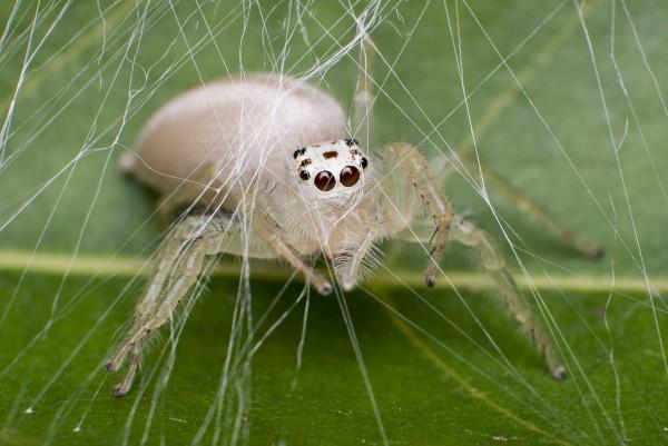 2013年,一隻築窩準備產卵的白化蜘蛛。攝影:Jeremy Mendoza, National Geographic Your Shot