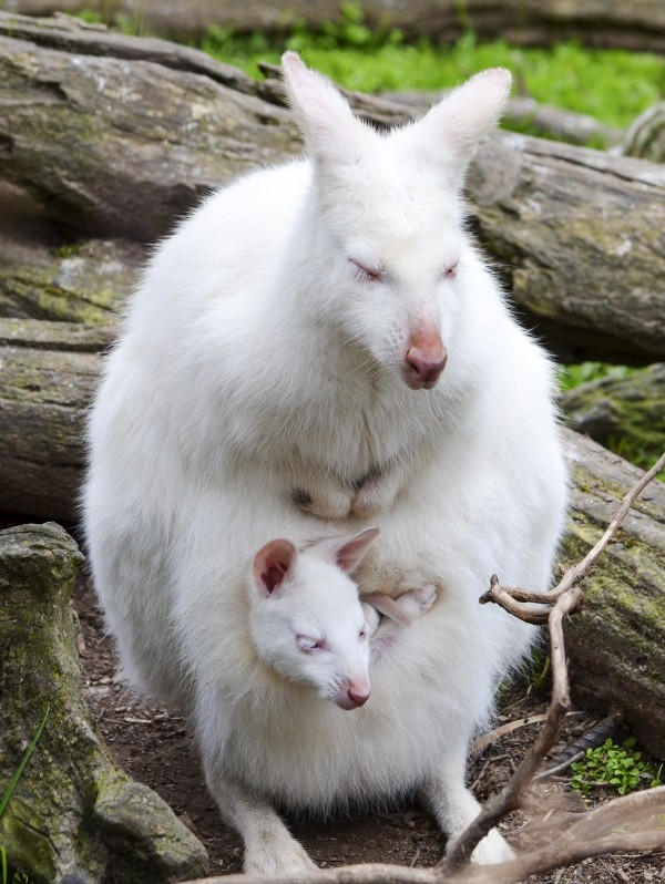 2014年,澳洲峽谷野生動物園的白化袋鼠母子。攝影:Ingrid Van Streepen, National Geographic Your Shot