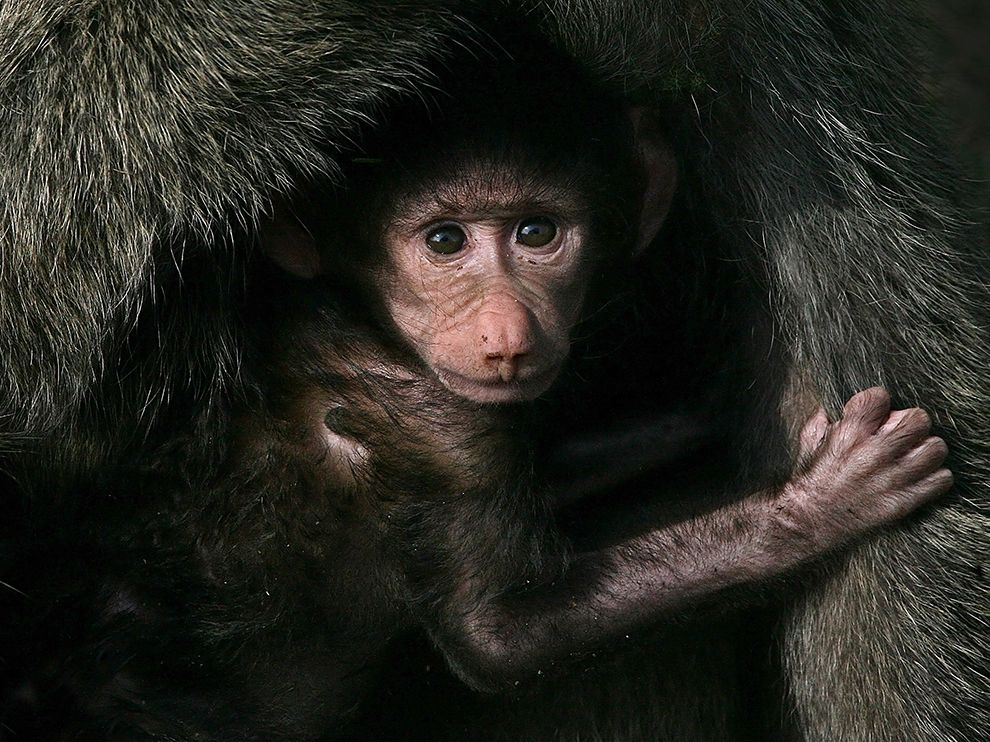 baby-baboon-kenya_76008_990x742