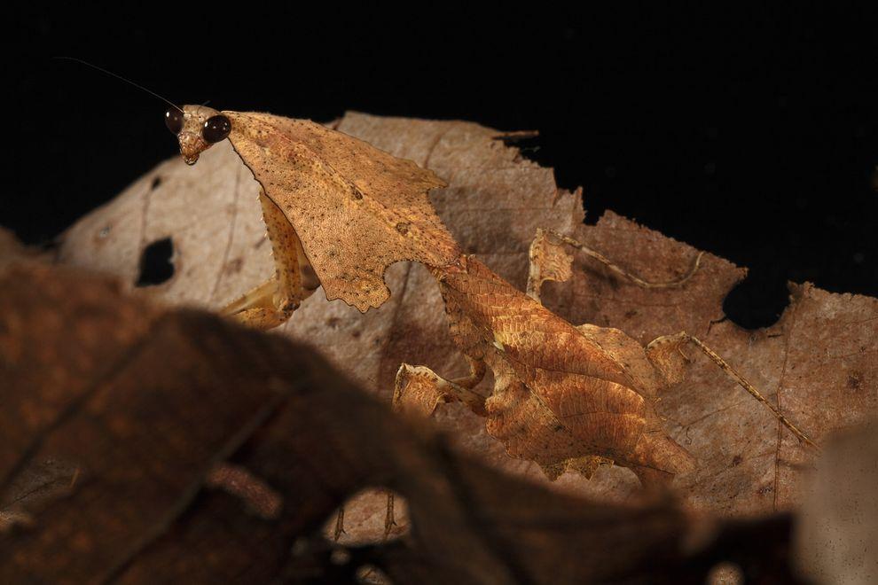 Deroplatys trigonodera是一種枯葉螳螂,外表有如森林中腐爛的落葉。 PHOTOGRAPH BY CHRISTIAN ZIEGLER, NATIONAL GEOGRAPHIC