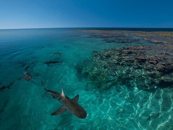 02-galapagos-sharks-bassas-670