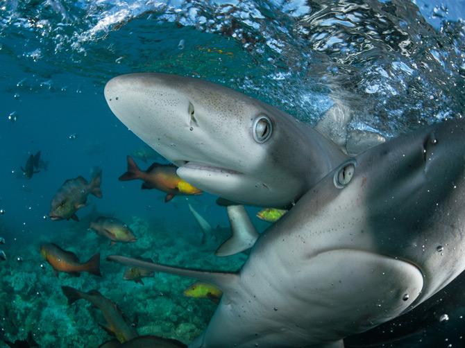 04-young-galapagos-sharks-670
