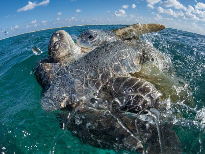 06-sea-turtle-courtship-670