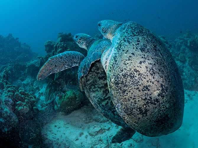 07-sea-turtles-mating-670