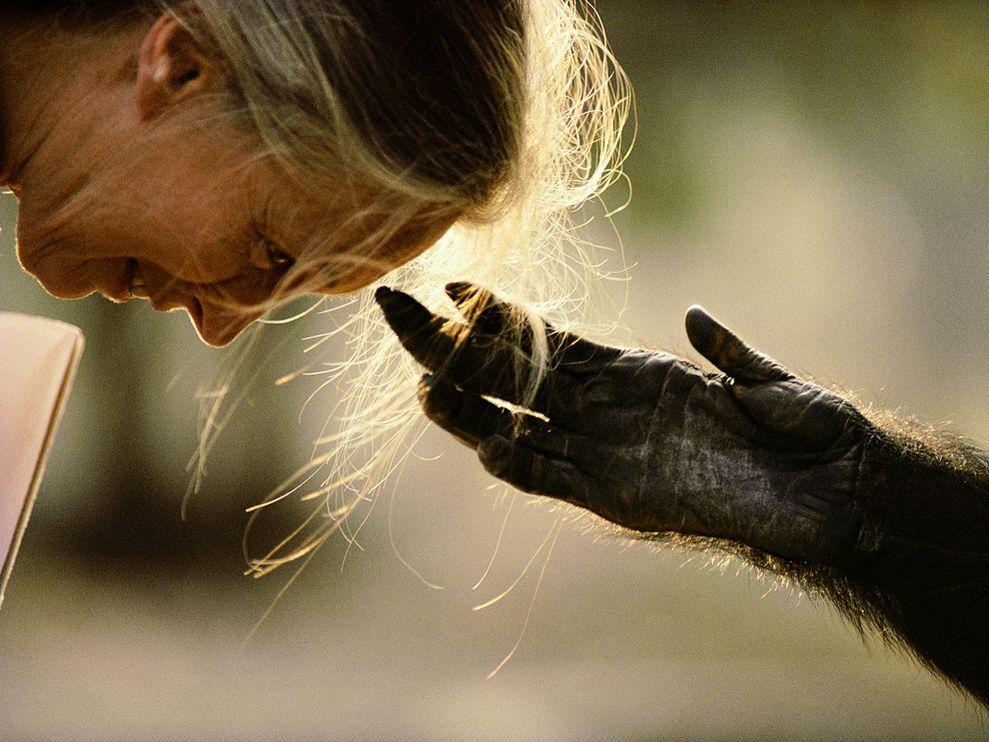 在剛果的布拉薩,靈長動物學家珍‧古德彎腰靠近伸手向她的黑猩猩Jou Jou。 PHOTOGRAPH BY MICHAEL NICHOLS