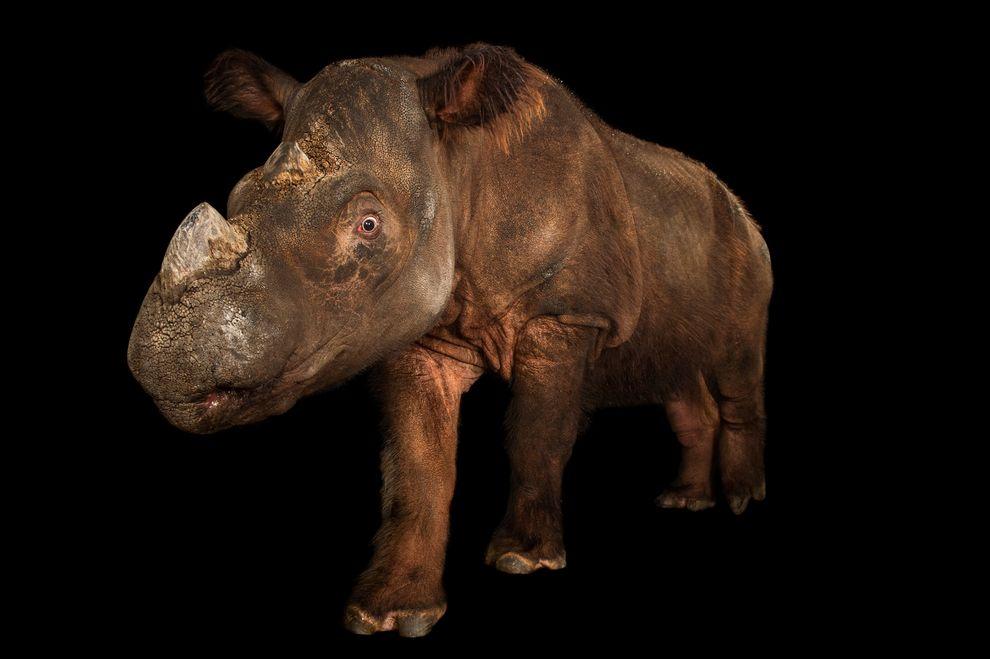 照片裡是極度瀕危的蘇門答臘犀「蘇琪」,於2013年在辛辛那提動物園拍攝的。攝影:JOEL SARTORE