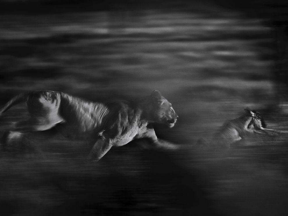 lioness-wildebeest-hunt-serengeti_79792_990x742