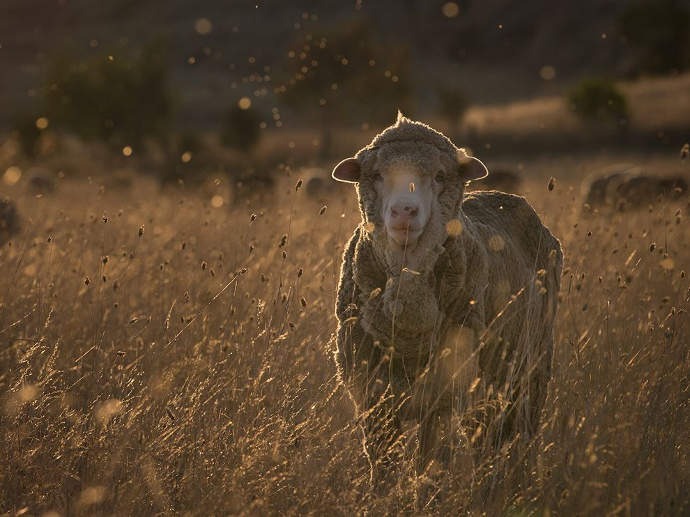 sheep-farm-sanctuary-australia_79197_990x742