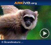 Javan-gibbon---overview
