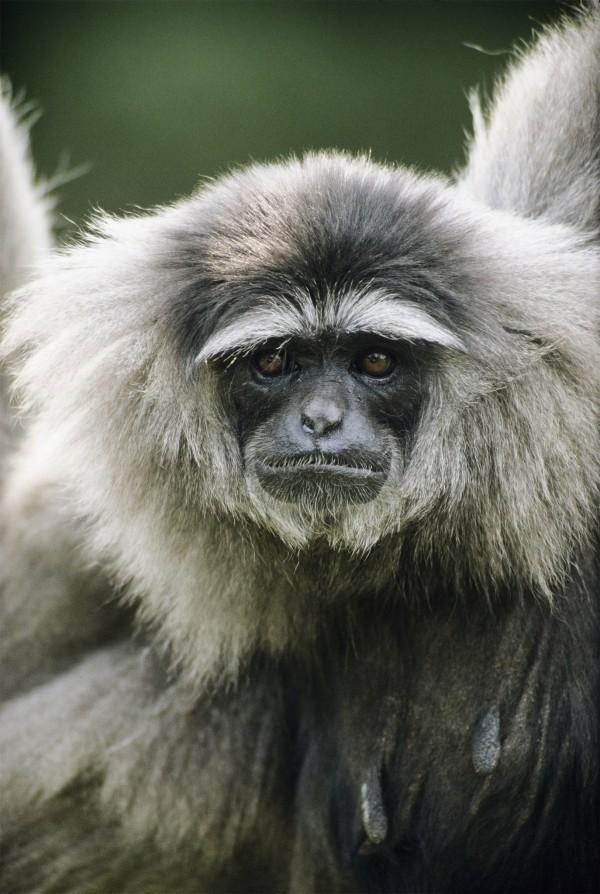 銀長臂猿生活於印度爪哇,是擅長音樂的動物。 Photograph by Konrad Wothe, Minden Pictures via Corbis