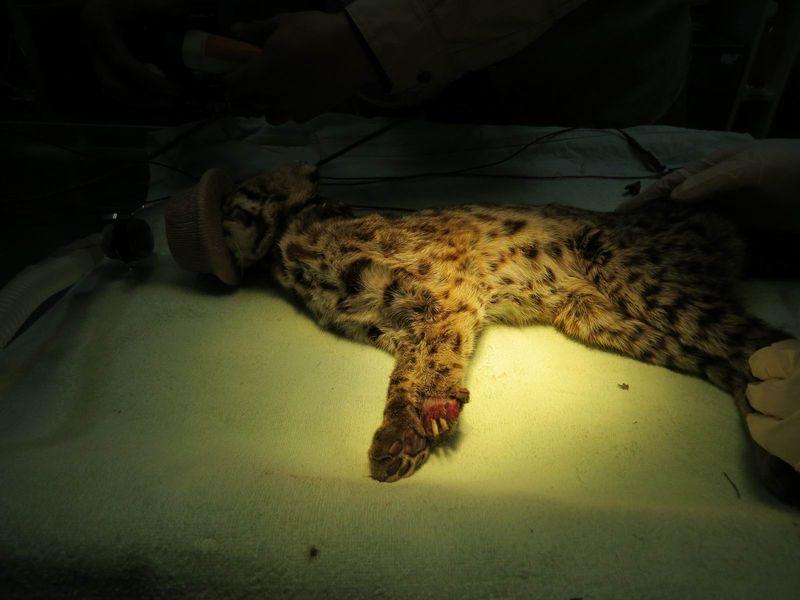 2014年1月9日誘捕回特生中心的集寶,左掌前端的傷清晰可見,體態也明顯消瘦。 圖片提供:行政院農委會特有生物研究保育中心