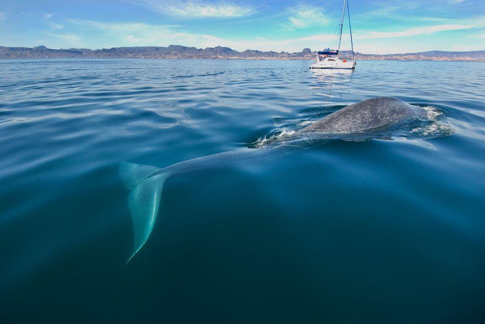 浮游在加利福尼亞灣海面的藍鯨。攝影:ROBERT HARDING, SPECIALIST STOCK/CORBIS