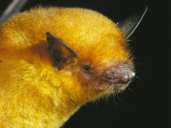 0811golden bat