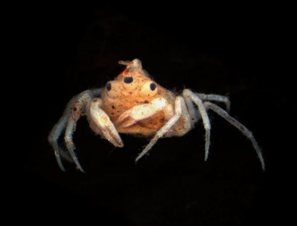 來自紐西蘭的畸形淡水蟹Amarinus lacustris標本。攝影:Stephen Moore, Gerhard Scholtz