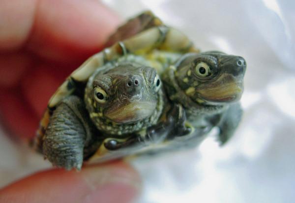 2006年,一隻異常的雙頭龜出現在中國青島。牠的主人是在市場上發現牠的,當時雙頭龜的健康狀況良好而且吃的比一般正常的烏龜還多。攝影:ChinaFotoPress, Getty Images