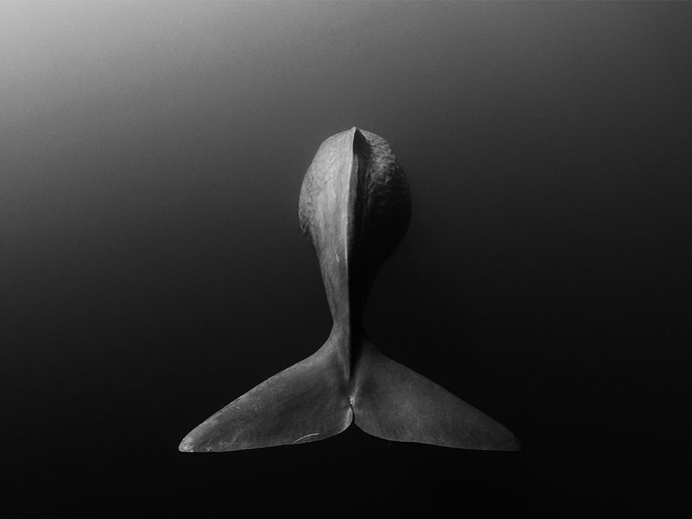 sperm-whale-sri-lanka_84060_990x742