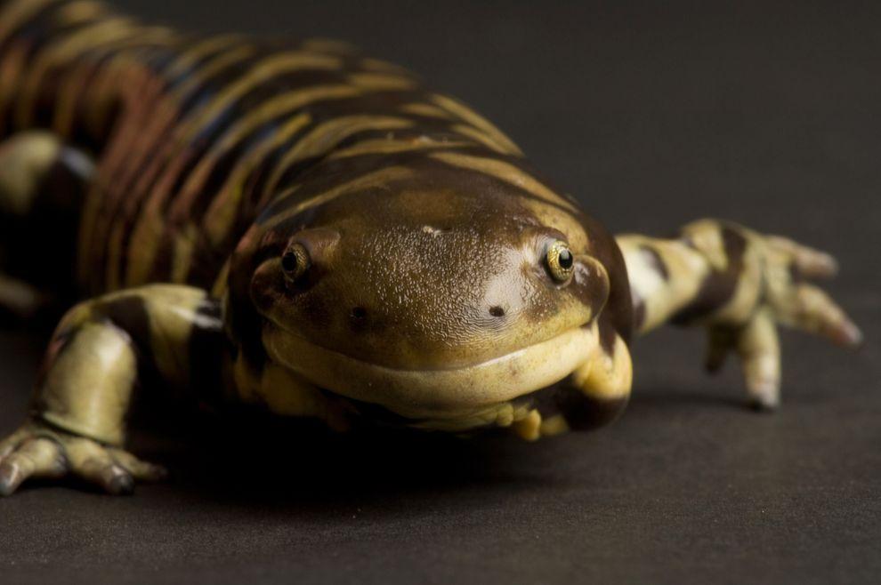 這隻在美國堪薩斯州威契托市(Witchta)塞治威克郡動物園(Sedgwick County Zoo)的虎皮蠑螈看起來好像在微笑。 Joel Sartore, National Geographic