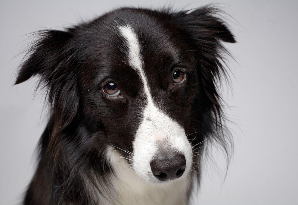 家犬(例如圖中這隻邊境牧羊犬)能夠分辨人的表情。 Photograph by Vincent J. Musi, National Geographic