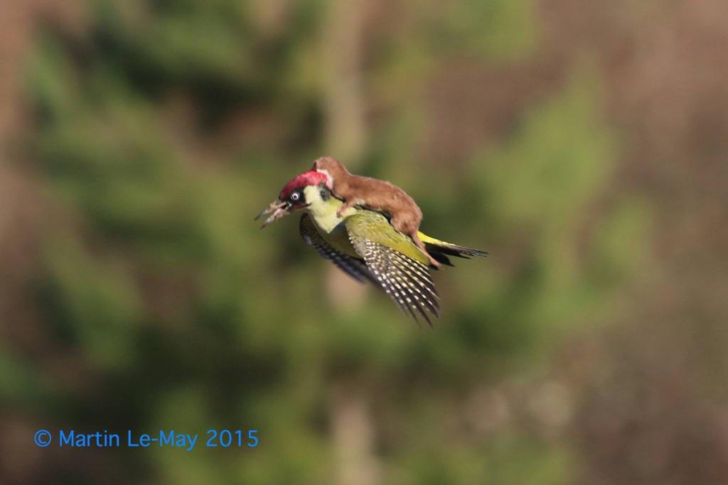 伶鼬騎啄木鳥