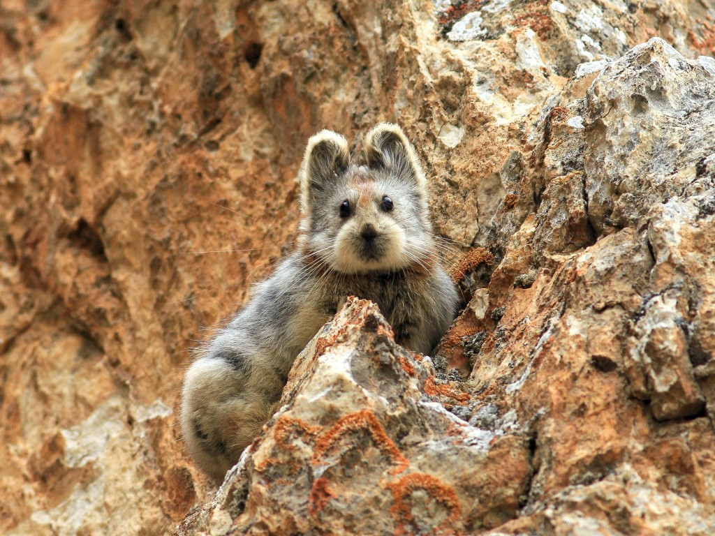 中國天山山脈-伊犁鼠兔