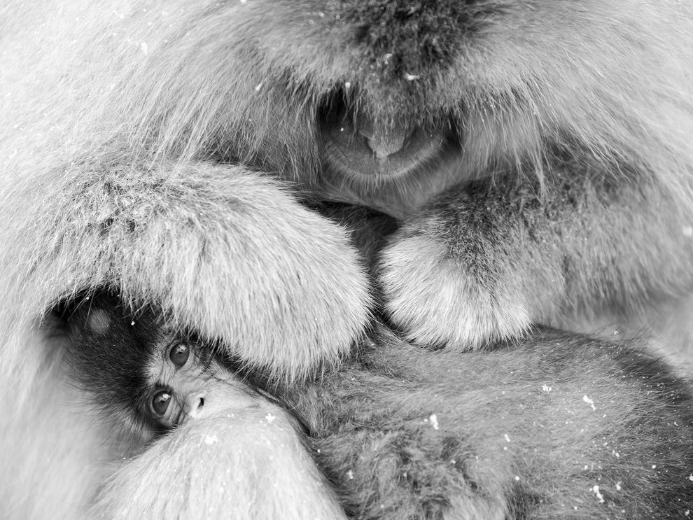 snow-monkey-mother-jigokudani_88869_990x742