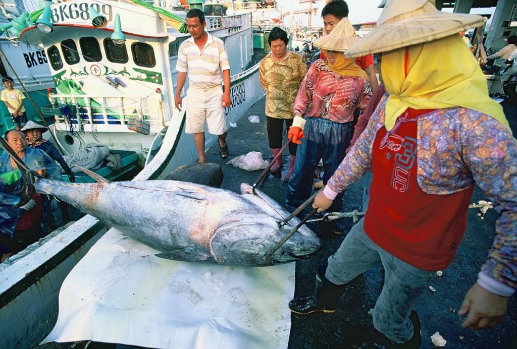 黑鮪魚4(洪志仁)