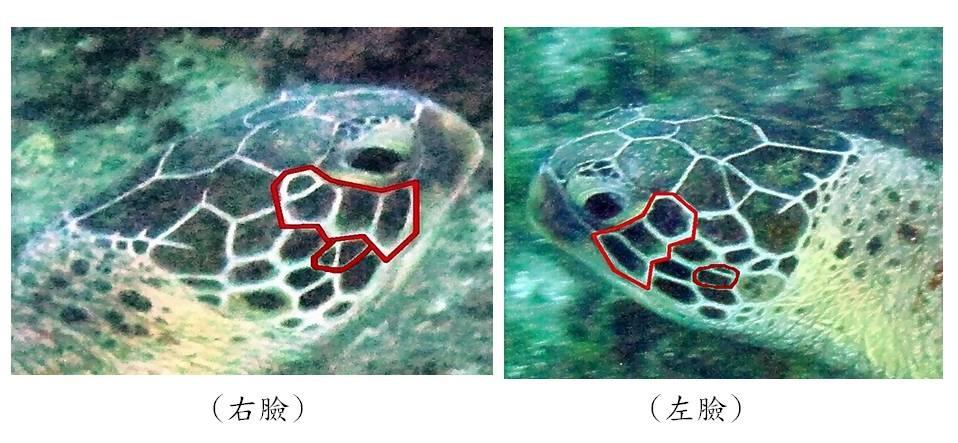 海龜左右臉鱗片