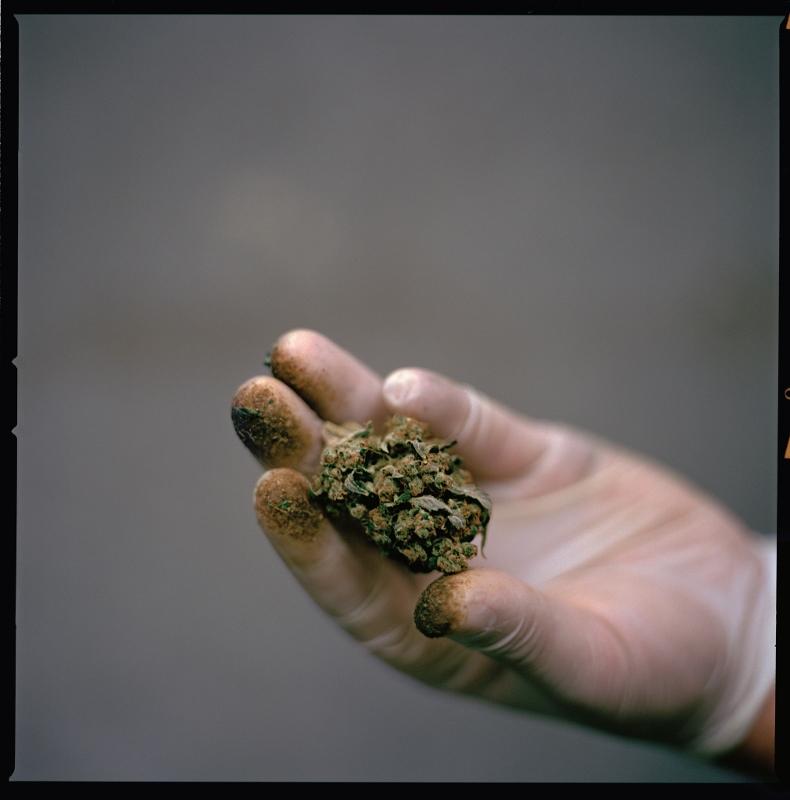 大麻的擁護者認為,這種被長期汙名化的植物可以提高我們的生活品質——而且有助緩解病痛。一名西雅圖的大麻工人手中拿著布滿樹脂的大麻花苞,這個品種名叫「藍莓乳酪蛋糕」。