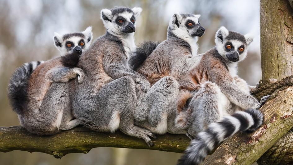 「狐猴」的圖片搜尋結果