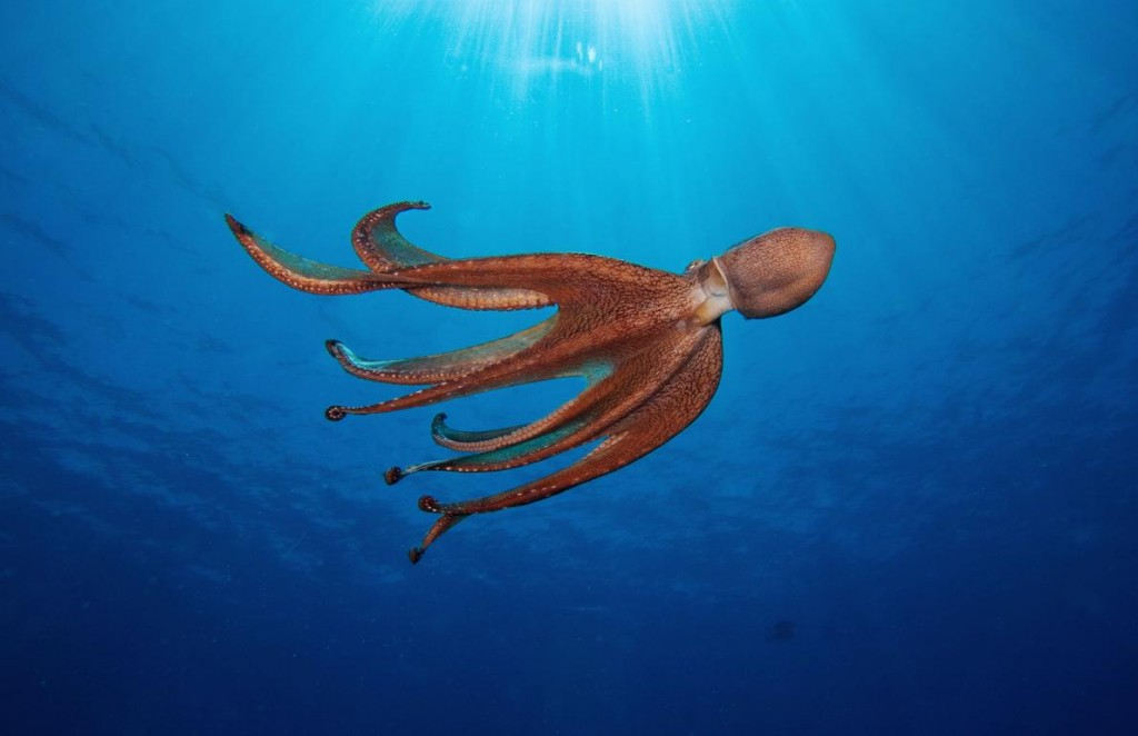 在夏威夷外海,一隻章魚襯著藍藍的大海漂浮著。這種軟體動物聰穎、愛玩,又充滿了驚奇。本書作者賽‧蒙哥馬利這麼說。Photograph by David Fleetham, Alamy