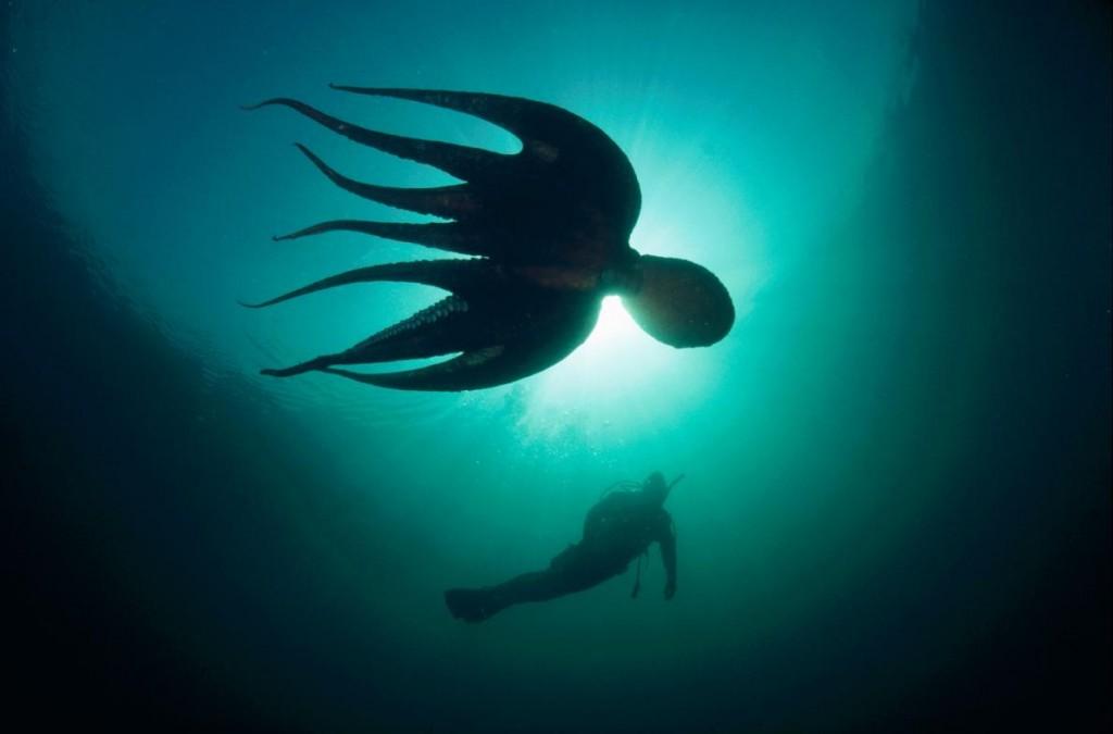 照片中的北太平洋巨型章魚在英屬哥倫比亞的夸德拉島外海和一位潛水客一起游泳。這種章魚可以長到6公尺,體重可達68公斤。Photograph by Fred Bavendam, Minden Pictures, National Geographic