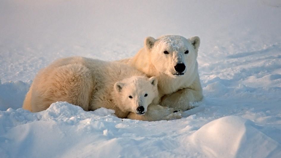 【杂志好朋友】北极熊(polarbear)-国家地理仓鼠雪貂吃动物吗图片